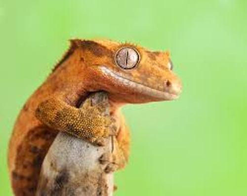 Fotos de Crested Geckos